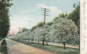 White Magnolias on Oxford Street Rochester NY New York DPO Lime Rock CT 1905 UDB