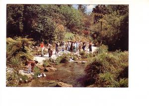 Feeding Trout and Ducks, Fairy Springs, Rotorua, New Zealand,