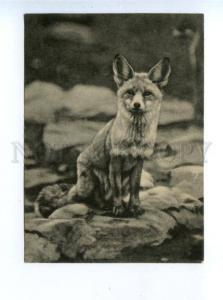 159729 Moscow ZOO Fox Turkmen Vintage Russian PC