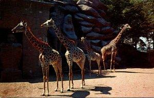 Michigan Detroit Zoological Park Giraffes 1964