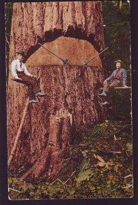 P1638 1907 used postcard logging taking down very large tree