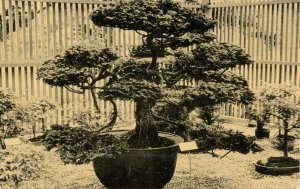 Hinoki Cypress, 200 years old