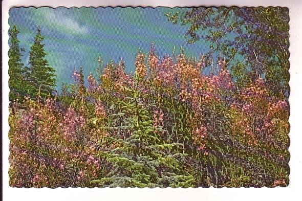 Fireweed, Yukon, Photo W Horback