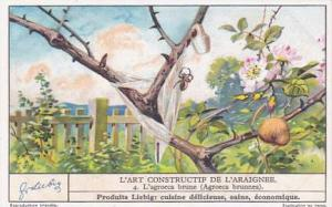 Liebig Trade Card Spider's Art No 4 L'agrocea brune Agrocea brunnea