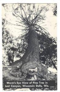 view of Pine Tree in Lost Canyon, Wisconsin Dells, Wisconsin,   40-60s
