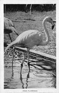 Flamingos Pink Flamingo Bonita Springs, Florida, USA Unused