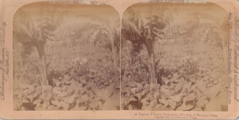 SV: Havana , Cuba , 1899 ; Tobacco Plantation