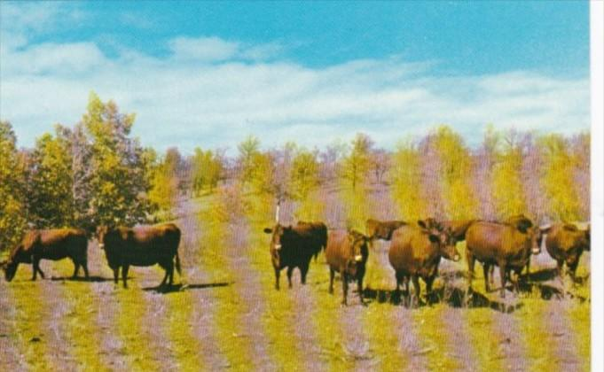 Canada Part Of Dual Purpose Herd Of Red Poll Cattle A G Howard Crystal City M...