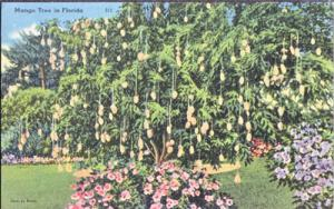 A MANGO TREE is heavy laden with fruit in Florida, 1930/40s