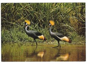 East African Wildlife Crown Birds Vintage 4X6 Postcard