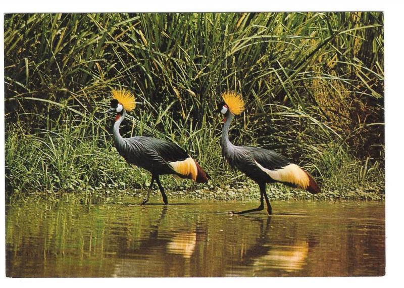 East African Wildlife Crown Birds Vintage 4X6 Postcard