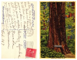 Roosevelt Tree, Big Trees park, Santa Cruz County, California