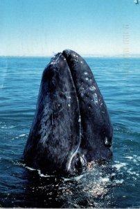 Mexico Baja California Coast Gray Whale Nursery 1997