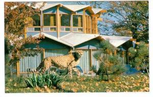 Cheetah, Granby Zoological Garden, Quebec,  Canada,  40-60s