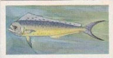 United Tobacco South Africa Vintage Trade Card African Fish 1937 No 31 Dolphi...