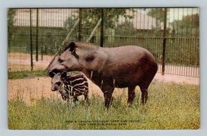New York City NY, Capir, NY Zoological Park, Vintage New York Postcard