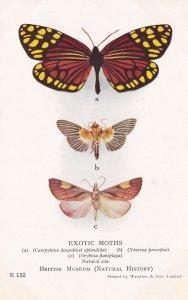 Nevrina Procopia Indian Orybina Flaviplaga Chinese Exotic Moths Postcard