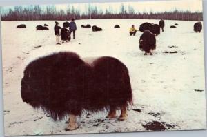 Domestic Musk Oxen in College, Alaska