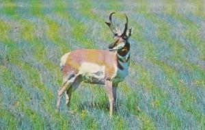 American Pronghorn Antelope Western South Dakota & Eastern Wyoming