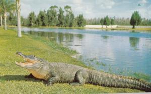 Alligator , Florida , 50-60s #2