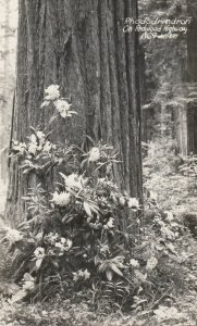 RP: Rhododendron , REDWOOD HIGHWAY , California , 1930-40s ; Art-Ray 1969