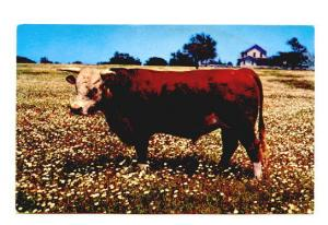 Bull in Field of Flowers, Perfect Specimen, Greetings from Morehead City Nort...