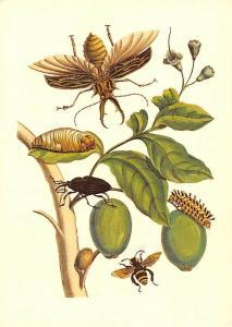 Maria Sibylla Merian Metamorphosis Insectorum Surinamensium Tabrouba