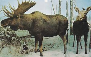 Saskatchewan Museum of Natural History, Wascana Park, Moose, REGINA, Saskatch...