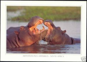 South Africa, Hippo, Hippopotamus in the River