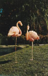 VANCOUVER, British Columbia, Canada 50-60s; Flamingos in Stanley Park