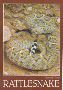 Snakes Diamond Back Rattlesnake