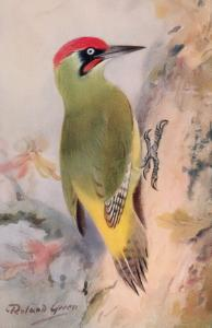 Green Woodpecker RSPB Royal Society For The Protection Of Birds Antique Postcard