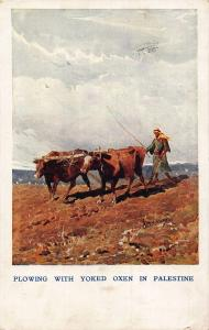 Plowing With Yoked Oxen in Palestine Cows Postcard