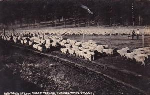 Real Photo Band Of 5000 Sheep Trailing Through Price Valley Utah