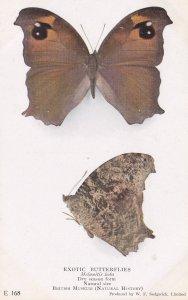 Melanitis Leda Exotic Butterfly Butterflies Old Rare Museum Exhibit Postcard