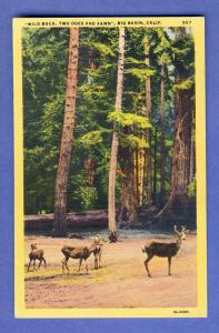 Nice Big Basin California/CA Postcard, Two Does & Fawn