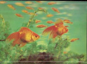 golden fish lenticular 3D postcard