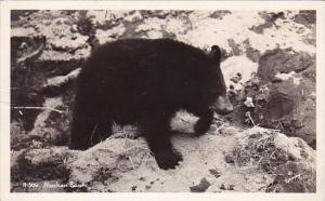 Alaska Black Bear Alaska Real Photo