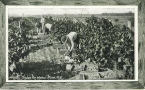 Picking Grapes For Market Roma Queensland Australia QLD Unused Postcard E4