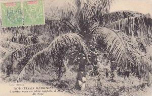 Cocotier Nain En Plein Rapport, A Mele Ile Vote, Nouvelles Hebrides, Vanuatu,...