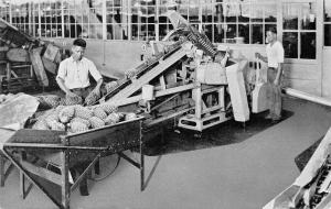 Honolulu HI Workers~Ginaca Macine~Pineapple Peelers~Dole Company~1930s B&W PC
