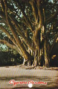 Florida Cypress Gardens One Of Floridas Most Curious Trees The Roots Descend ...