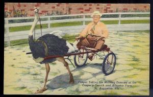 Casper's Ostrich Farm on a cart St Augustine FL unused c1951