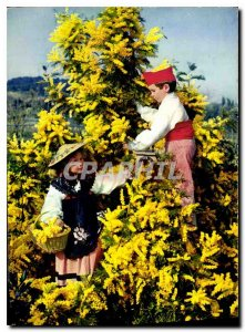 Postcard Modern Flowers of the French Riviera Mimosas