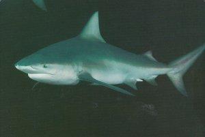 SAN DIEGO , California , 50-70s ; Bull Shark