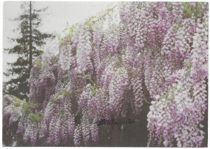US Sierra Madre's World Famous Wisteria Vine, California. Stamp #4001a