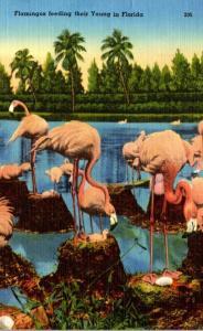 Birds Flamingos Feeding Their Young Florida 1964