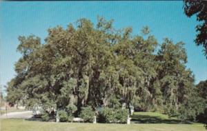 Louisiana St Martinsville The Evangeline Oak On Bayou Teche