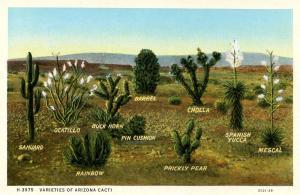 AZ - Varieties of Arizona Cacti