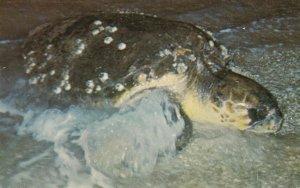 Sea Turtle , Florida , 50-60s